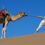 Stubborn Camel